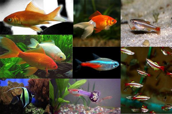 Variedad de peces imagui for Peces de pecera